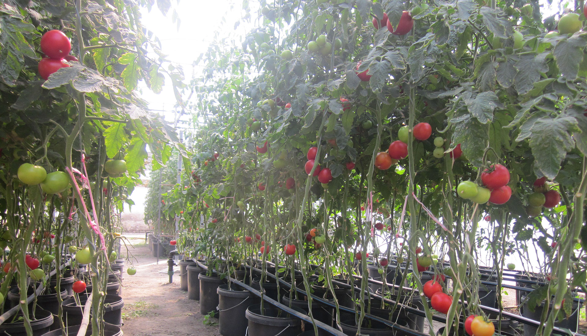 How To Grow Tomato In Aquaponic System - AquaponicsBuzz