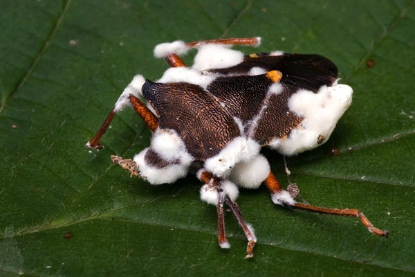 One of the safe organic pest control resources you can use in your aquaponic system are predatory insects